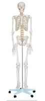 Life-Size Skeleton 180 cm Tall