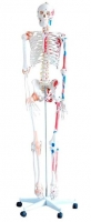 Skeleton with Muscles and Ligaments 180cm Tall