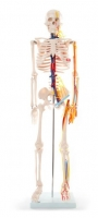 85cm Skeleton with Nerves and Blood Vessels