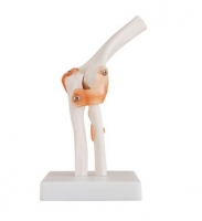 Life-Size Elbow Joint