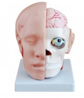 Head with Brain