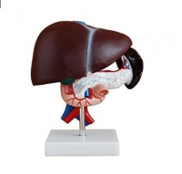 Liver  Pancreas and Duodenum Model