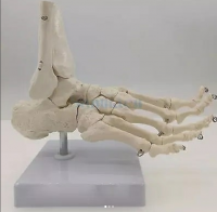 Foot structure of studies