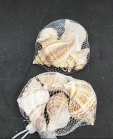 Large spiral oyster