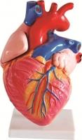 Stereogram of heart size of medium