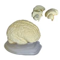 Stereoscopic brain